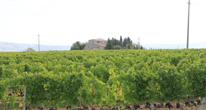 Tuscany-Sangiovesegrapes (Small)