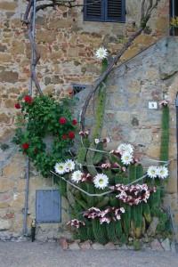 fioritura-cactus-monticchiello
